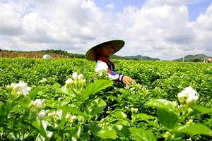Foto: jasmim colhido na província de Guangxi, China, para a empresa HojoTea.com