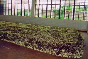 Jasmim misturado ao chá  verde in HojoTea.com