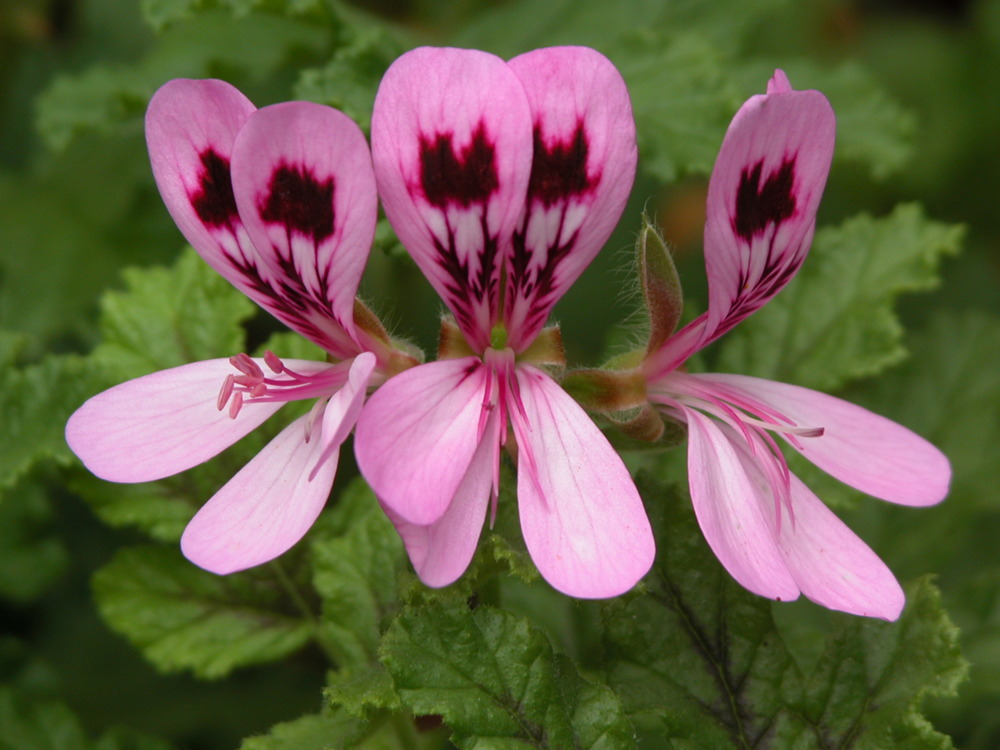 Foto: Pelargonium gravoelens, in theida.com