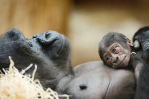 mamae gorila